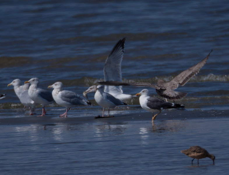 Lesser Black-Backed Gull  Salton Sea Ca. 2010 10 14-2.CR2