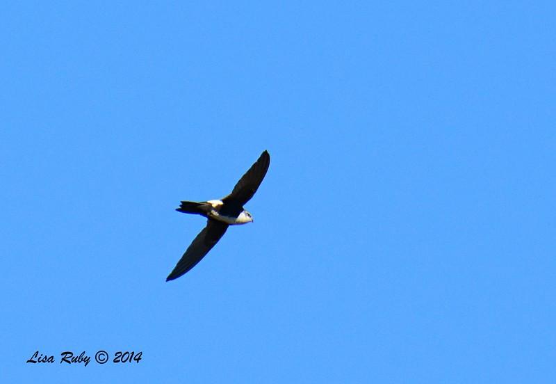 White-throated Swift - 1/2/2015 - Lake Hodges, southeast trail (south of footbridge)