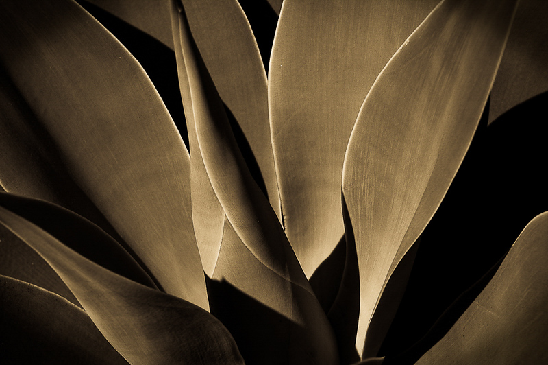 Century Plant 1-13.jpg
