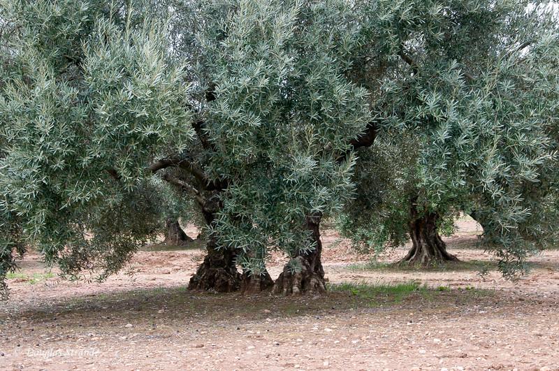 Fri 3/11 driving to Granada: Olive trees
