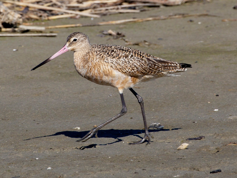 Another look at the Marbled Godwit