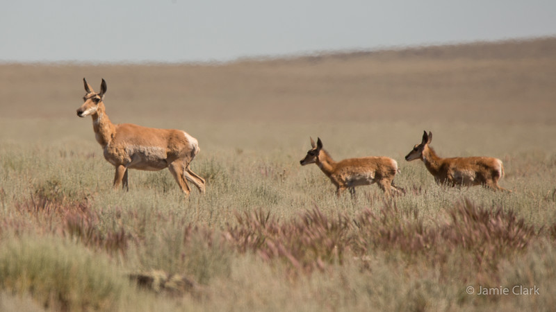Home, home on the range! Hart Mountain Antelope Refuge, Oregon