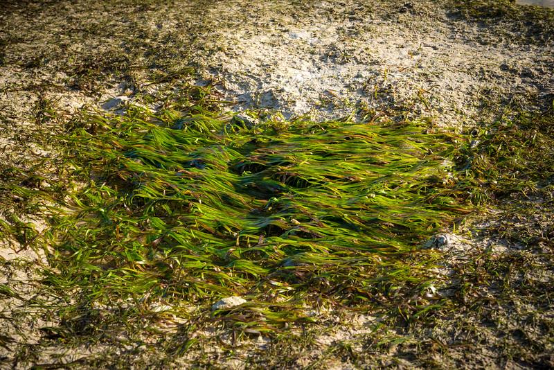 Seaweed But No Shells
