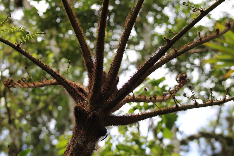 Monkey Tail Tree