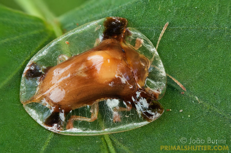 Tortoise beetle with a transparent carapace