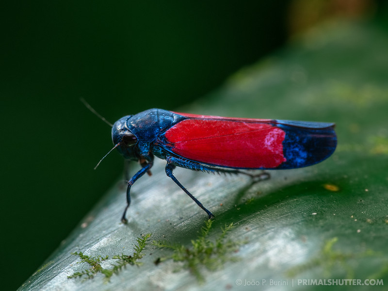 Pink blotched leafhopper (Cidadellidae, possibly Cardioscarta flavifrons)