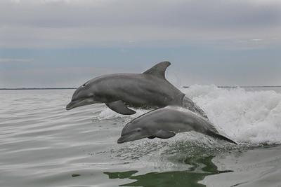 Bottlenose Dolphins of Sanibel Island