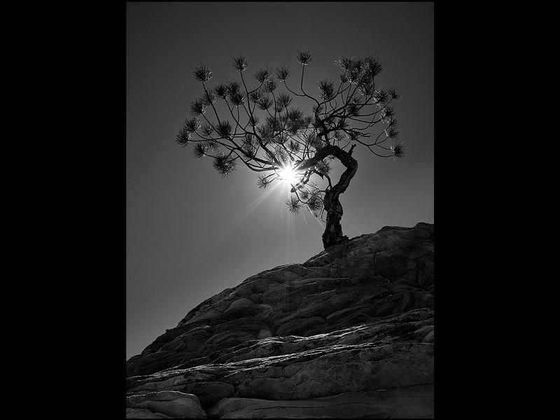 Lone Pinion Pine.jpg