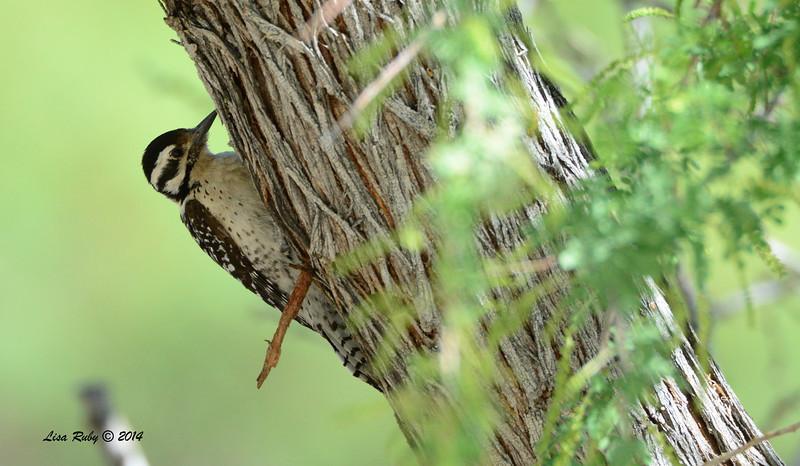 Ladder-backed Woodpecker - 4/6/2014 - Agua Caliente County Park, San Diego