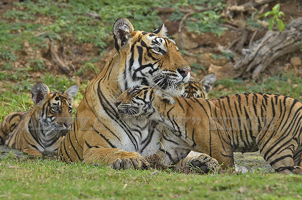 Wild tiger and cubs