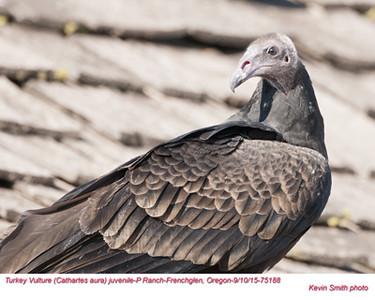 Turkey Vulture J75188.jpg