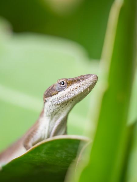 Lizard- Green Anole-6120471.jpg