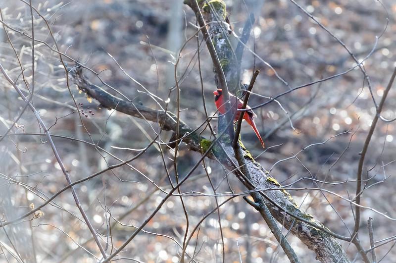 Cardinal 1-8560.jpg