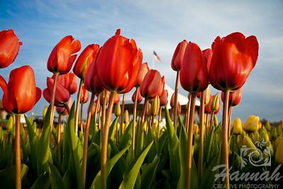 Tulips, Tulips and Tulips!