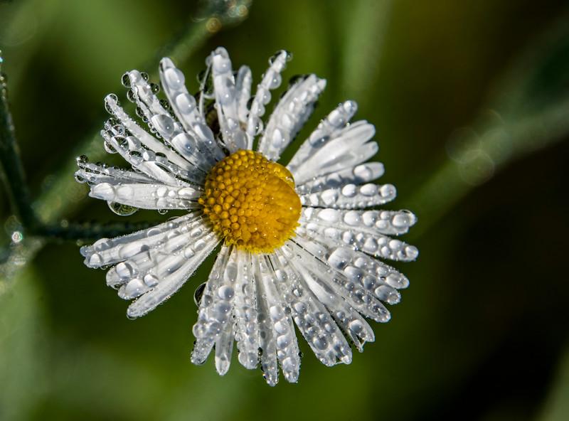 Flee-bane-daisy-morning-dew.jpg