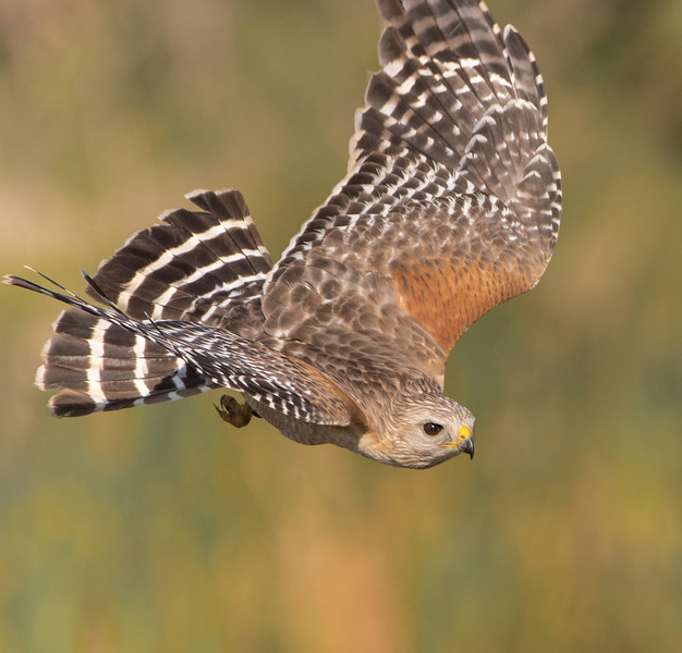 RS Hawk-3987.jpg