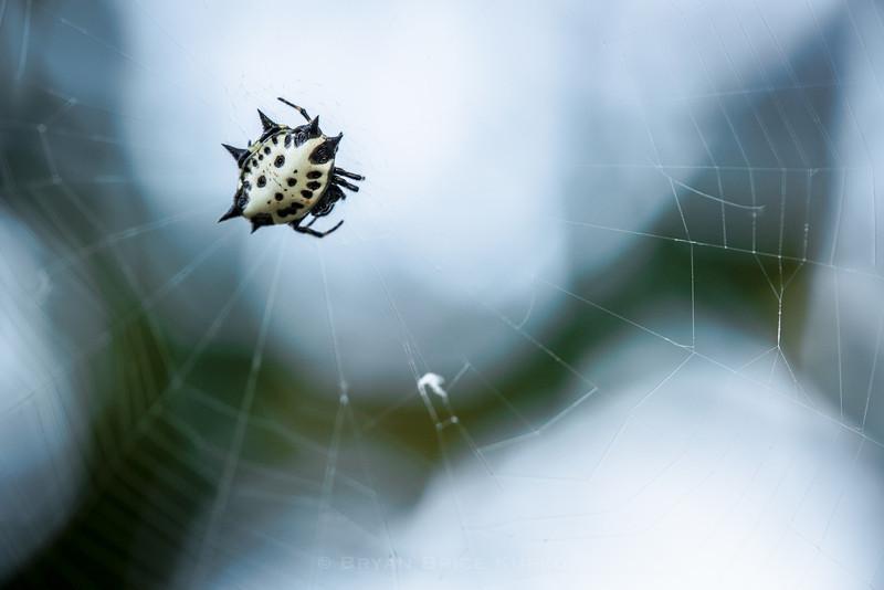 Crab_Spider_BL.jpg