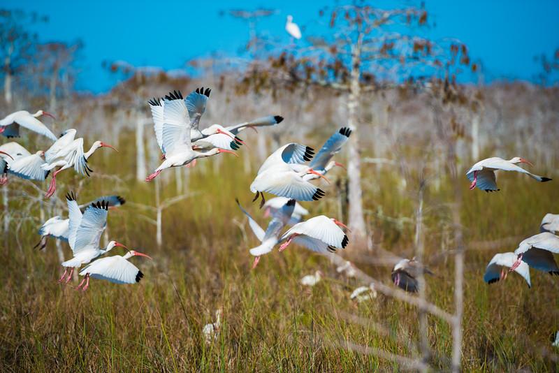 Everglades (41 of 60).jpg
