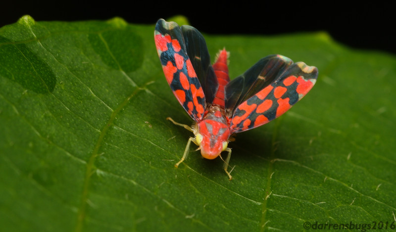 Leafhopper (Cicadellinae: genus Ladoffa) from Belize. Twelve new species from this genus were formally described recently, including two new species from Belize (Freytag + Lozada 2013).