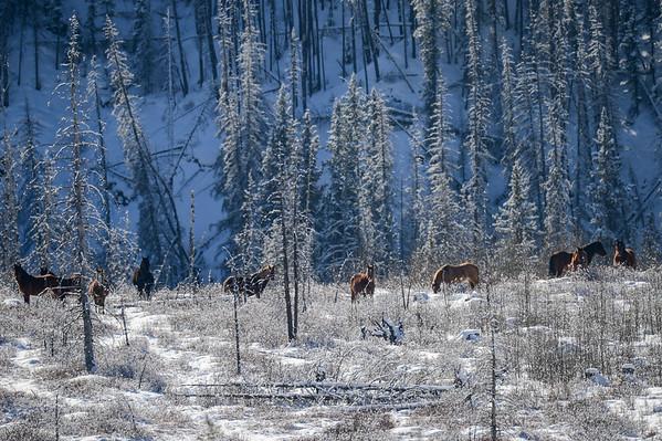 2 2013 Feb 20 Wild Horses Sundre