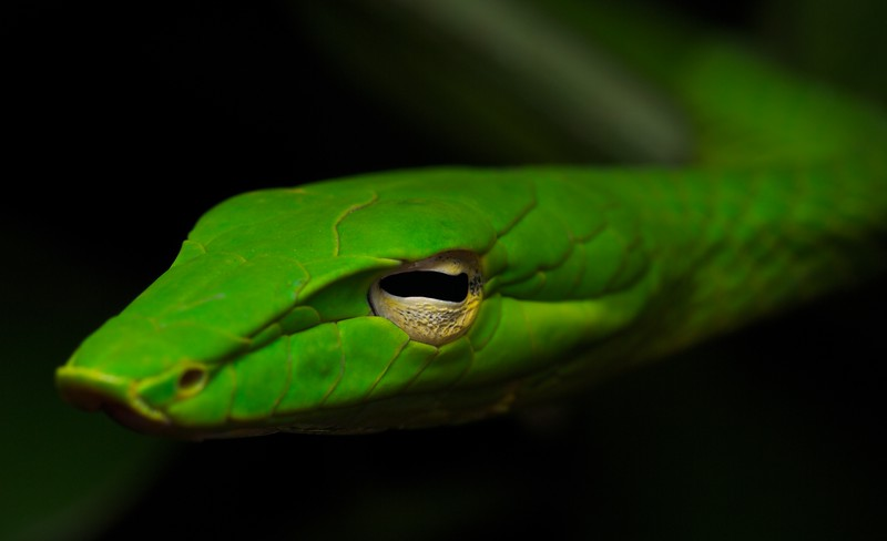 Oriental whip snake (Ahaetulla prasina)
