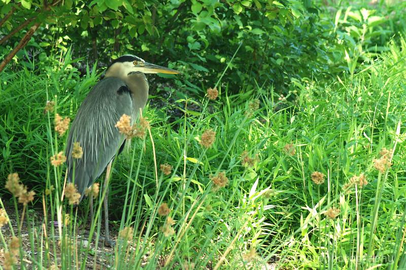 Great Blue Heron standing amidst green foliage.jpg