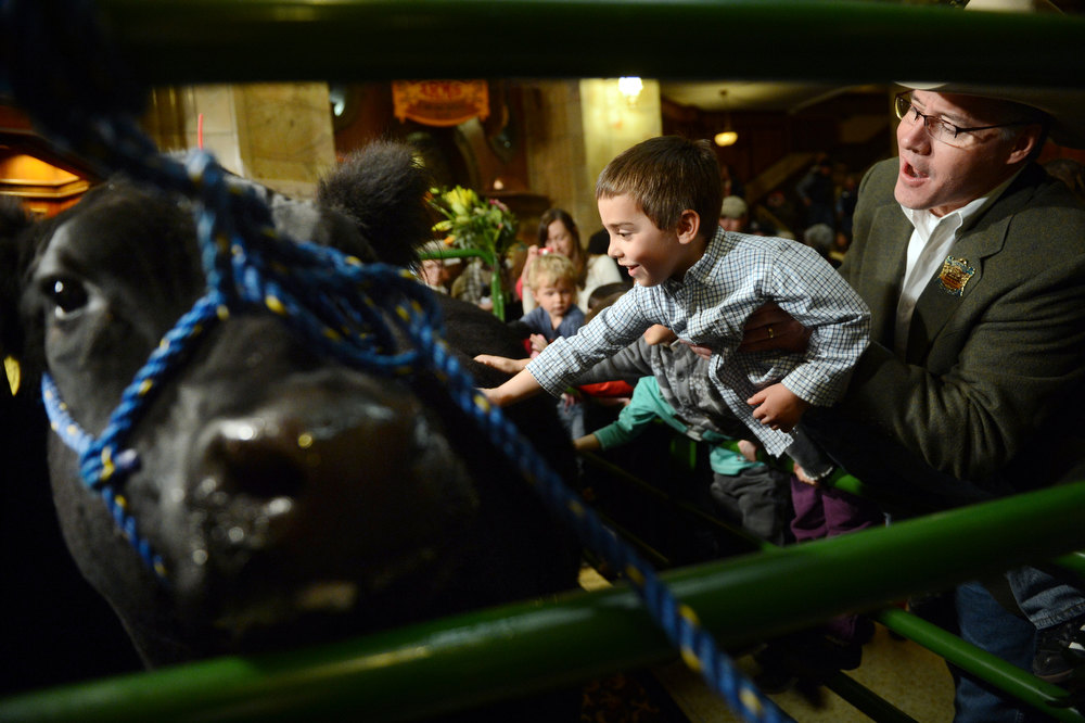 ". DENVER, CO. - JANUARY 25:  Volunteer Randy Blach helps Brayden Forte, 5, get a closer look at ""Willie\"" while the National Western Stock Show\'s Grand Champion and Reserve Steers made their annual visit to the Brown Palace Hotel & Spa in Denver, CO, January, 25, 2013. The Grand Champion ,Trevor, weighing in at 1335 lbs. was raised by Shilo Schaake of Westmoreland, KS. The Reserve Grand Champion, Nick, 1275 lbs, was shown by  Jessica Webster of Runnells, IA. The skittish champions were also joined by a third steer, Willie, left, raised by Lauren May, of Mineral Point, WI, for moral support. (Photo By Craig F. Walker / The Denver Post)"