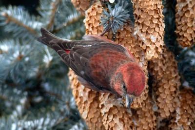 Crossbill, Red