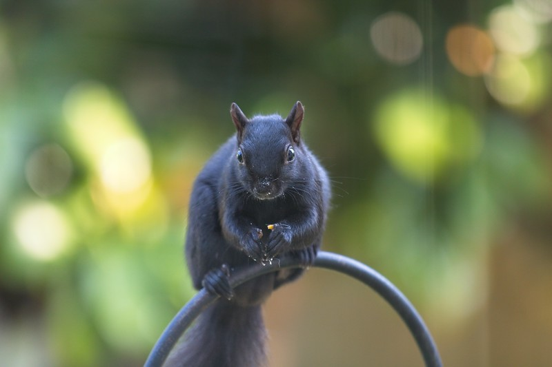 BLACK SQUIRREL FEEDING