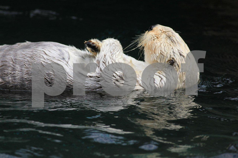 Sea otter 2775.jpg