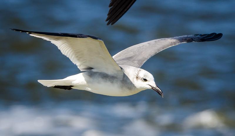 Seagull in flight 1 020417-1565.jpg