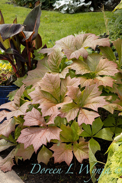 Rodgersia podophylla starting to change color_1323.jpg