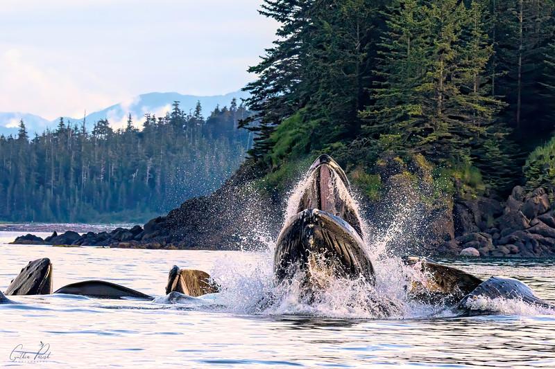 Whales_Juneau Alaska Bubble Feeding_664A7220.jpg