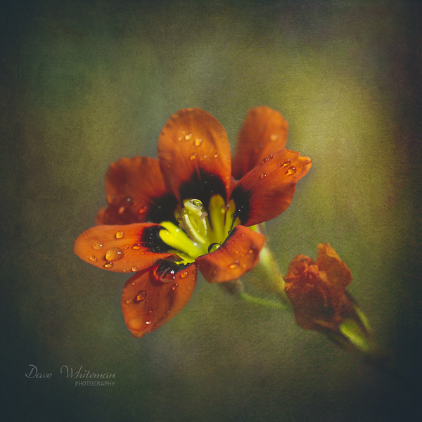 Harlequin Flower in Repose.jpg