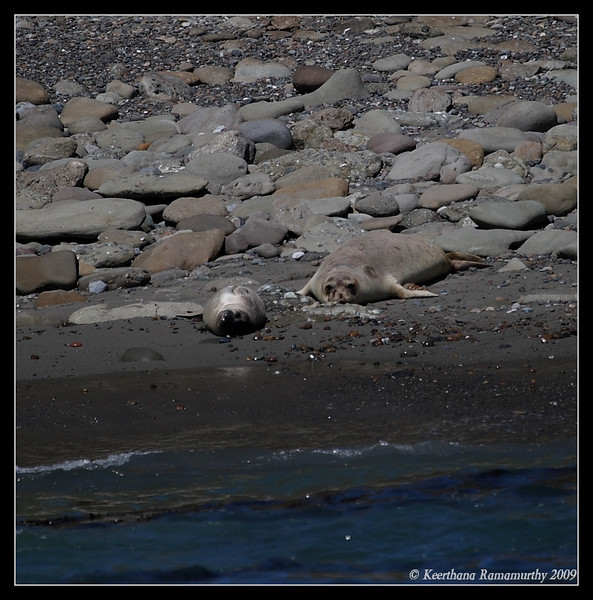Elephant Seals, Islas Coronados, Mexico, March 2009