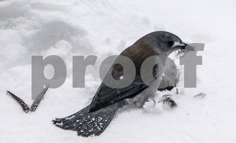Butcher bird snow.jpg