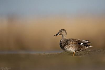 Dabbling Ducks & Mergansers /Simänder & skrakar