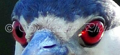 heron eyes