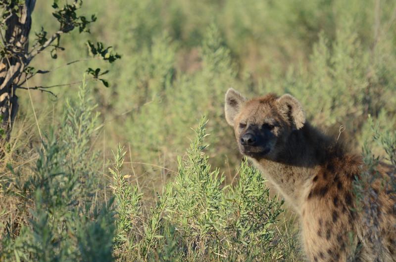80 - Spotted Hyena - Chitabe - Anne Davis