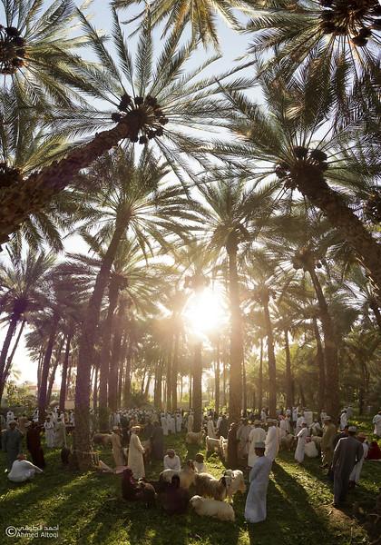 palm tree (9)-Saroor-Samail- Oman.jpg