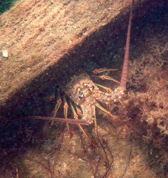 lobster under the dock