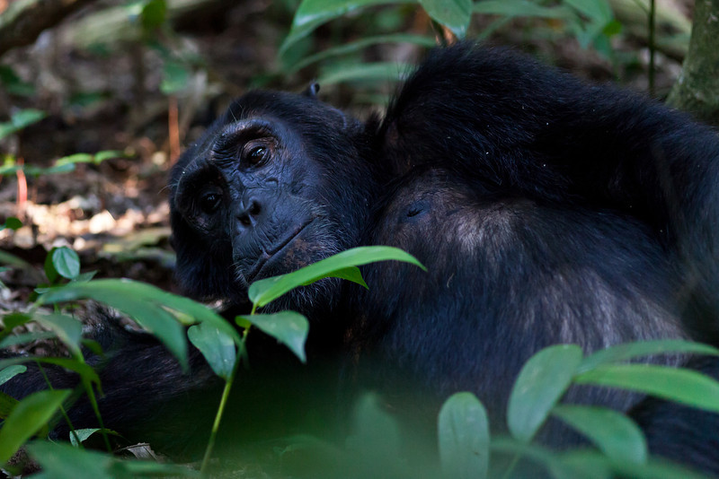 Chimpanzee / Schimpanse (Kibale Forest NP)