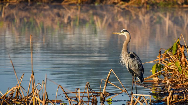 Great Blue Heron-6871.jpg
