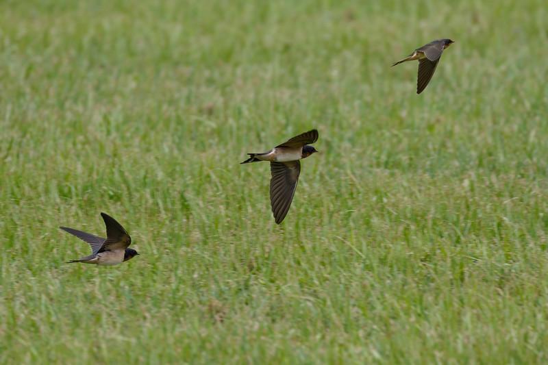Swallow in Flight-Composite