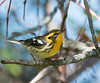 blackburnain warbler Female LI, NY spring