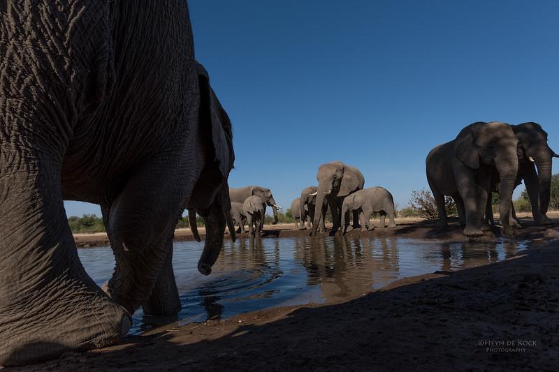 African Elephant, Mashatu GR, Botswana, May 2017-47.jpg