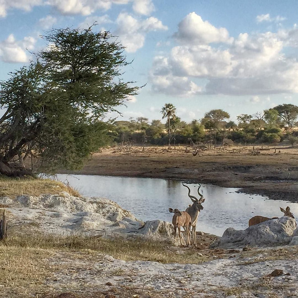 Kudu buck and a couple of females at the watering hole - Leroo La Tau, Botswana