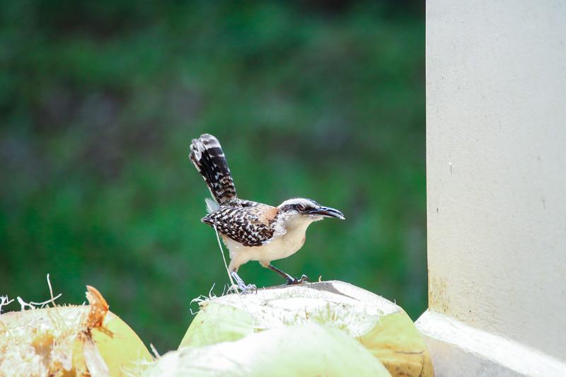 Sparrow on coconut