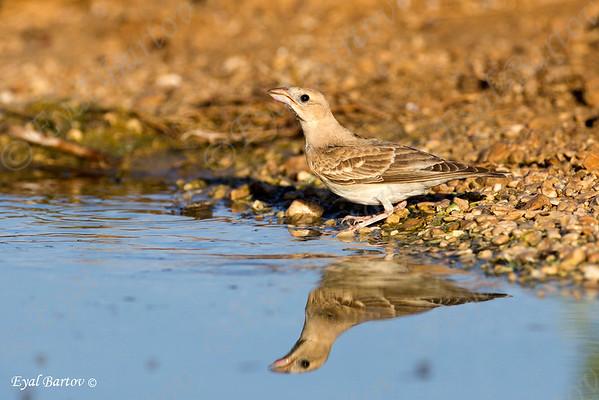 דרורית קצרת אצבעות / Pale Rock-Sparrow /