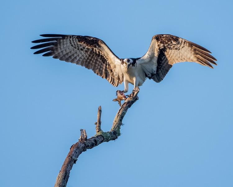 Osprey & Fish_500_7052.jpg